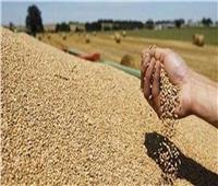 فيديو| الزراعة: إنتاج القمح مبشر جدًا هذا العام