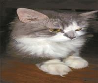 حكايات| مسالم وغلبان ومّتعقم.. شروط قاسية لتبني القط المصري «سكر»