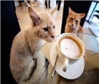افتتاح مقهى خاص للقطط في بيروت