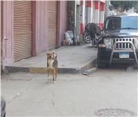 """الكلاب الضالة تهدد أرقى أحياء المنوفية.. والطب البيطري: """"تراكمات القمامة هي السبب"""""""