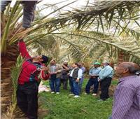 صور| «بحوث النخيل» ينظم ندوات حول أهم الممارسات الزراعية بالوادي الجديد