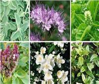 لمزارعي النباتات الطبية العطرية..نصائح للحفاظ على الناتج الكمي والكيفي