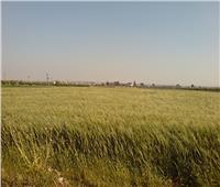 تعرف على حقيقة تقليص رقعة الأراضي المزروعة بالقمح
