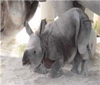 شاهد| أول عملية ولادة عن طريق تلقيح صناعي لأنثى وحيد قرن هندي
