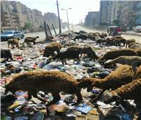 صور  ماشية تتغذى على المخلفات في عزبة النخل.. والأهالي: «أضحيتنا بطعم القمامة»