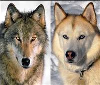 دراسة: الكلاب ليست أوفي الحيوانات للبشر