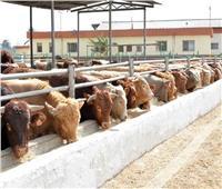 وصول 11 ألف رأس ماشية حية لميناء الإسكندرية