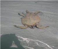 محافظ البحر الأحمر يشكل لجنة بيئية لتحديد مرتكبى مذبحة السلاحف البحرية