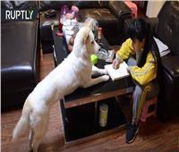 """""""فيديو""""..صيني يدرب كلبه على مراقبة ابنته للتأكد من أنها تؤدي واجبها المدرسي"""
