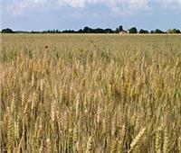 توريد 123 ألف طن من محصول القمح بشون وصوامع المنيا