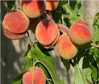 لمزارعي الخوخ والمشمش.. نصائح للتعامل مع «الأشجار» خلال يونيو القادم
