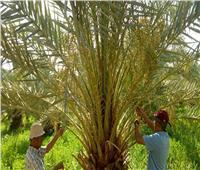 بالصور| حصاد حملة مكافحة سوسة النخيل خلال شهر بالواحات