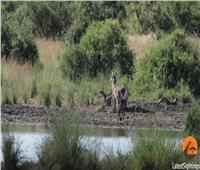 شاهد| معركة شرسة بين تمساح عملاق وغزال بحديقة في جنوب إفريقيا