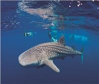 فيديو| ظهور القرش الحوتي «بهلول» جنوب مرسى علم