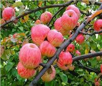 لمزراعي التفاح والكمثري.. نصائح لحماية الأشجار خلال يونيو