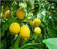 فيديو  بعد ارتفاع أسعاره 100 جنيه للكيلو.. هذه أسباب «جنون الليمون»