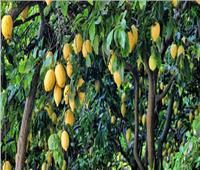فيديو  شعبة الخضروات تعلن موعد انخفاض أسعار الليمون