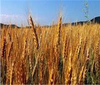 توريد ٦٢٤ ألف طنا من القمح لشون وصوامع الشرقية