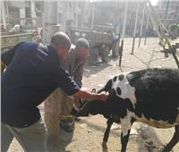 تكثيف جهود تحصين الماشية ضد الحمى القلاعية بالمنوفية