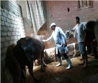 صور| الزراعة: تحصين 252 ألف رأس ماشية ضد الحمى القلاعية