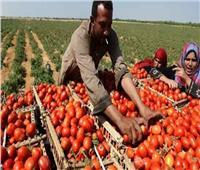 فلاحو الغربية..أزمات الطماطم موسمية