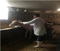 الزراعة: تحصين 501 ألف رأس ماشية ضد مرض الحمى القلاعية