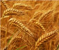 توريد 100% من المستهدف من محصول القمح بمحافظة بني سويف