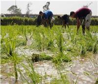 «الزراعة» تسجل أصنافًا جديدة عالية الإنتاجية من الأرز والقمح والفول