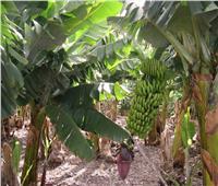 8 نصائح لـ«مزارعي الموز» خلال مرحلة التزهير في يوليو