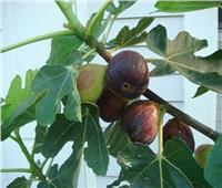 نصائح لـ«مزارعي التين» خلال يوليو لزيادة صلابة الثمار ومنع تساقطها