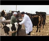 «الزراعة»: تحصين 1.3 مليون رأس ماشية ضد مرض الحمى القلاعية