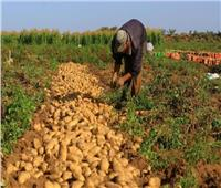 «الزراعة»: 573 ألف فدان خالية من «العفن البني» خلال عام