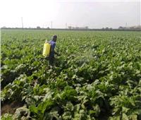 صور| إقبال كبير على زراعة «بنجر السكر» بالشرقية
