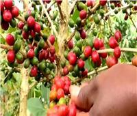 فيديو| الروانديون يزرعون البُن ولا يشربونه.. تعرف على السبب