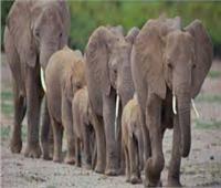الأفيال تتسبب في زيادة مخزون الكربون بالغابات نتيجة تدميرها للنباتات الصغيرة