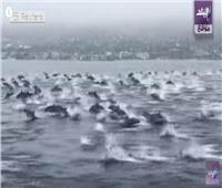 شاهد| سرب ضخم من الدلافين أمام أحد شواطئ كاليفورنيا