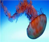 قنديل البحر  تعرف على تأثير وجوده على البيئة ووسائل مكافحته