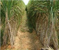 الزراعة: مصر تحقق رقما قياسيا من المحاصيل السكرية بإجمالي 2.5 مليون طن