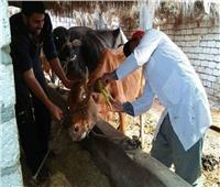 الزراعة: تحصين 2.4 مليون رأس ماشية ضد الحمى القلاعية