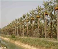 «البحوث الزراعية» ينظم ورشة عمل حول النهوض بنخيل البلح