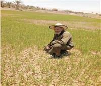 «أرز الجفاف» يعيد  الحياة لأرض «الواحات»