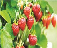 7 نصائح لـ«مزارعي الفراولة» لزيادة الإنتاج وحماية المحصول من الآفات