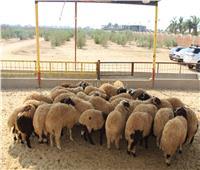 فيديو| عيد الأضحى ينعش سوق الماشية والأغنام.. تعرف على الأسعار والأنواع