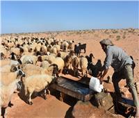 موسم الأضاحي في مطروح.. «البرقي» يتصدر سوق الأغنام