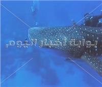 صور| ظهور القرش الحوتى«بهلول» جنوب مرسى علم