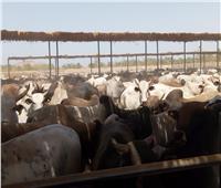 استعدادا لـ«العيد».. وصول أضاحي الأوقاف إلى مجزر أبو سمبل