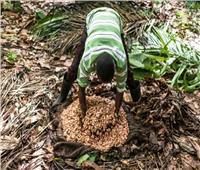 مزارعو الكاكاو في غانا يستخدمون مبيدات آفات مغشوشة