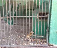 صور وفيديو| أضعر مولود بحديقة الحيوان قبل عيد الأضحى 2019