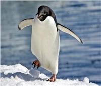 تزايد أعداد «طائر البطريق الأزرق» في نيوزيلندا