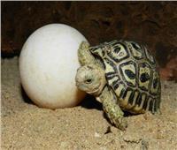 إحباط محاولة تهريب «بيض سلاحف» في إندونيسيا